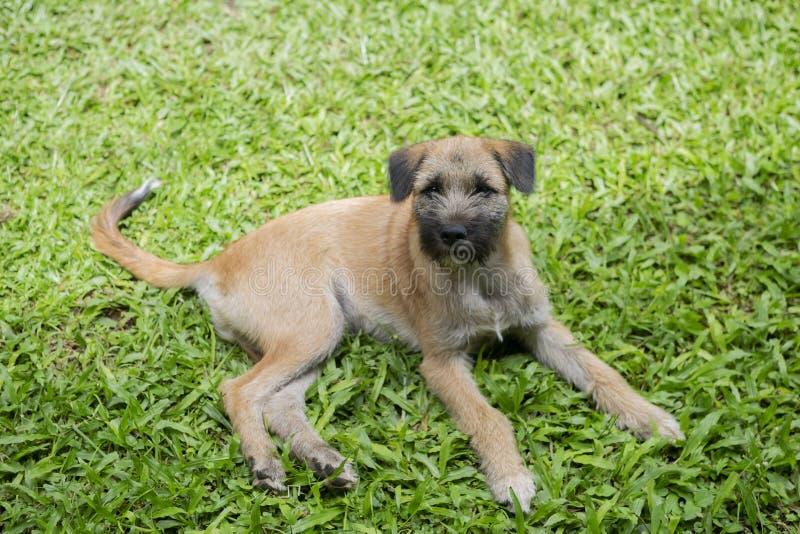 Chien de coupe fixant sur l'herbe verte, lumière extérieure de jour, regard de repos de chien curieux image libre de droits