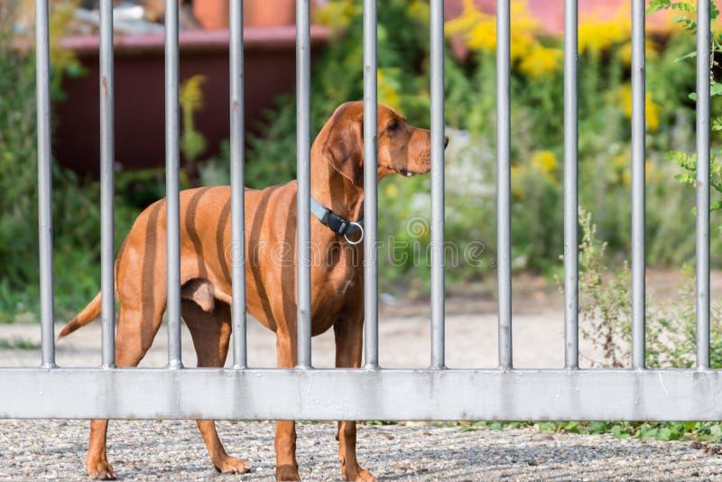 Chien de garde derrière une barrière en métal photographie stock