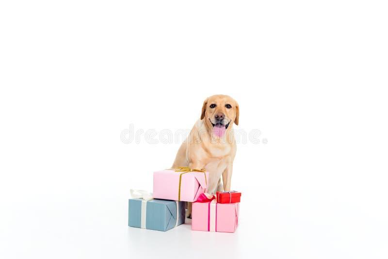 chien de golden retriever avec des boîte-cadeau, image libre de droits
