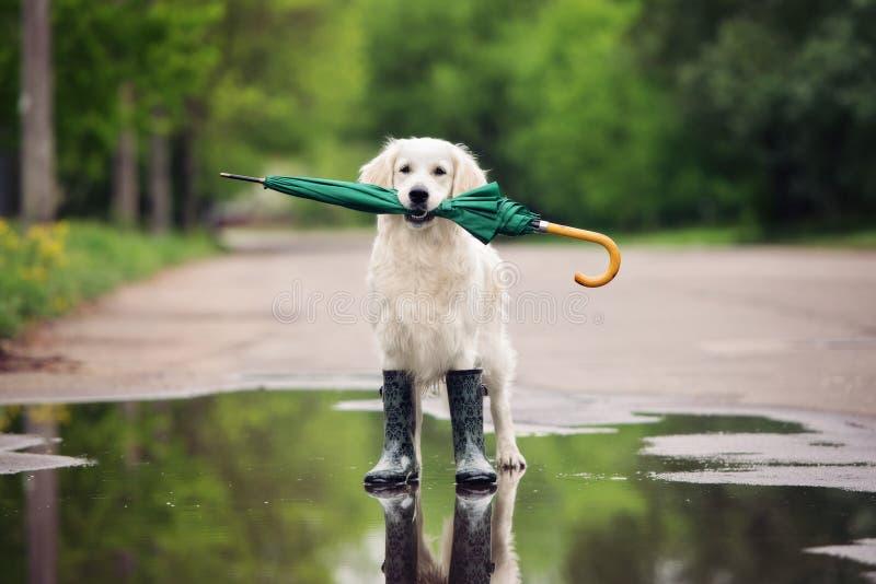 Chien de golden retriever dans des bottes de pluie tenant un parapluie photographie stock libre de droits