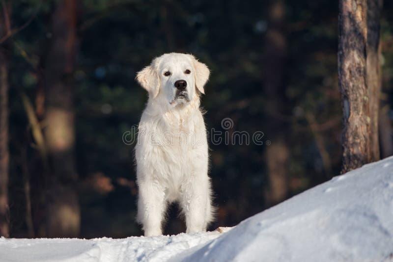 Chien de golden retriever dehors en hiver photo stock