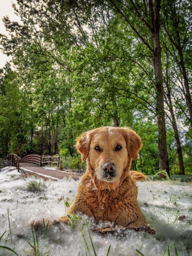 Chien de golden retriever se reposant en parc avec l'herbe pleine du peuplier pelucheux photographie stock