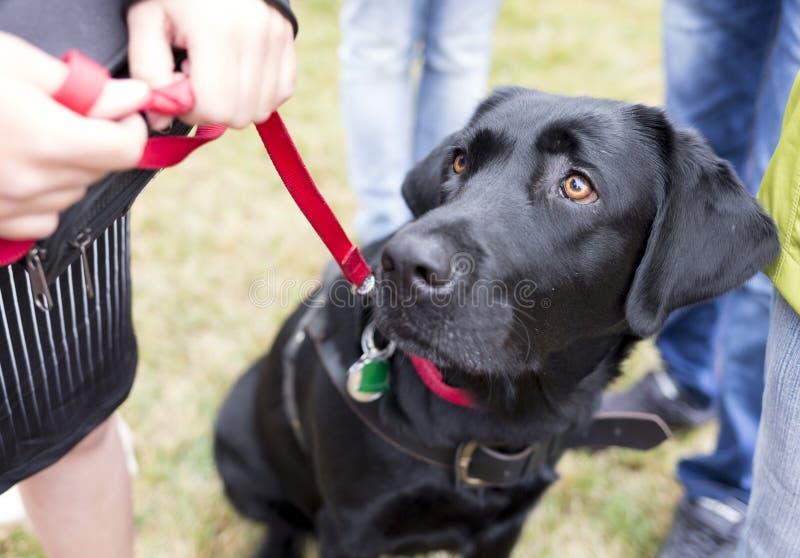 Chien de guide noir de Labrador photos libres de droits