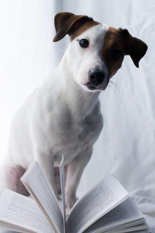 Chien de Jack Russell Terrier avec le livre, le jour de la connaissance photographie stock libre de droits