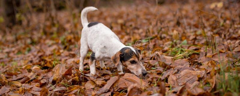Chien de Jack Russell Terrier dans la for?t image libre de droits