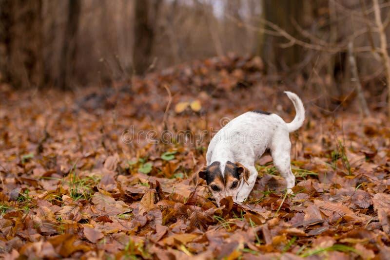 Chien de Jack Russell Terrier dans la for?t photos libres de droits