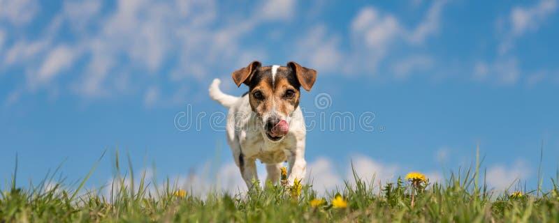 Chien de Jack Russell Terrier dans le pré de floraison de ressort devant le ciel bleu photographie stock