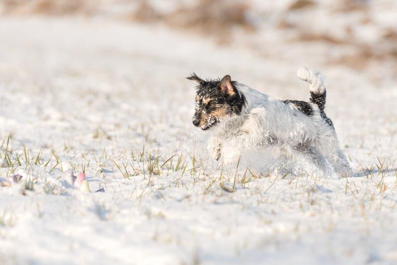Chien de Jack Russell Terrier fonctionnant en hiver au-dessus d'un pré neigeux photographie stock libre de droits