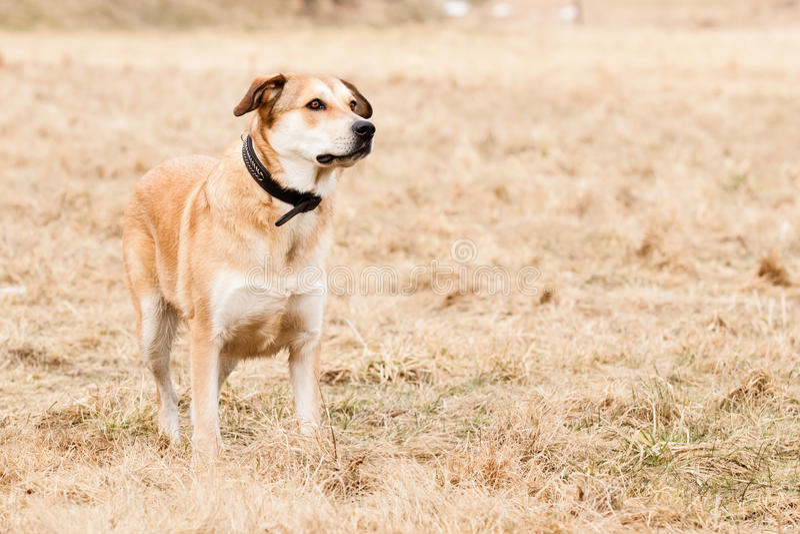 Chien de Labrador et de berger allemand photo stock