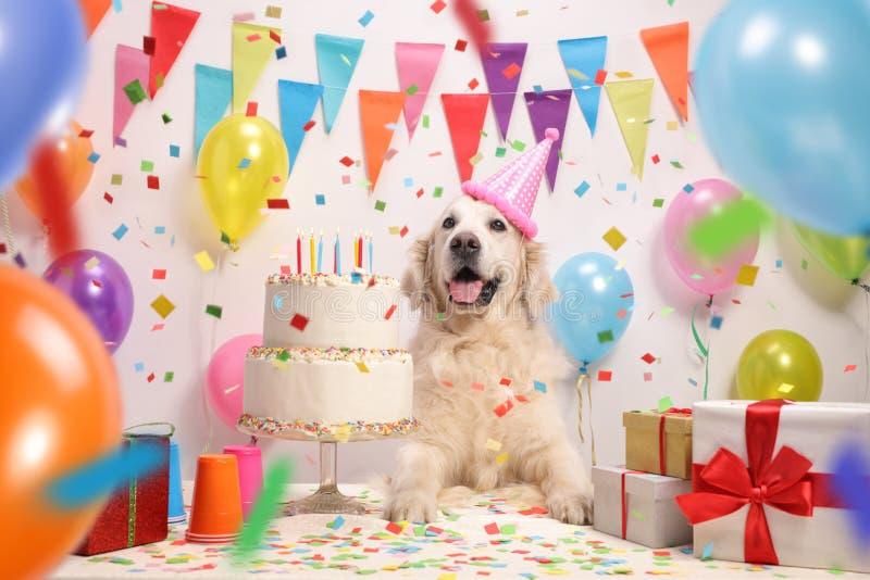 Chien de labrador retriever avec un gâteau d'anniversaire photos stock