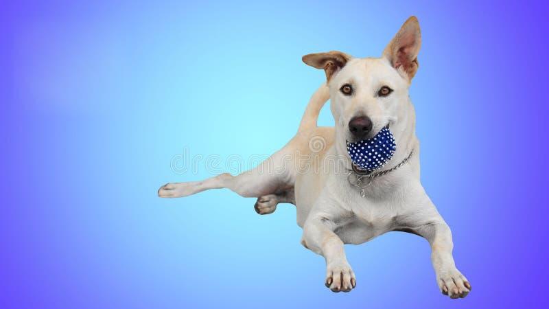Chien de labrador retriever jugeant la boule bleue d'isolement photographie stock