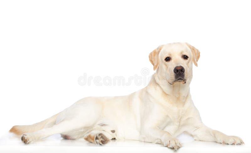 Chien de labrador retriever sur le fond blanc photographie stock libre de droits
