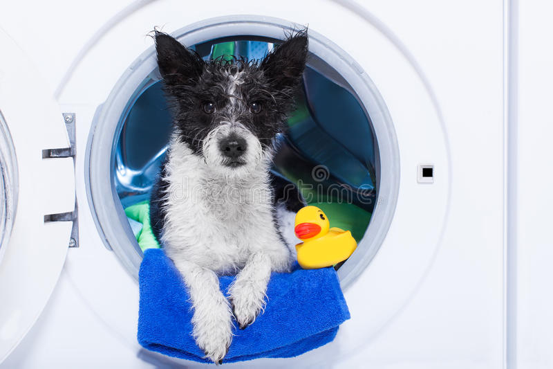Chien de lavage image stock