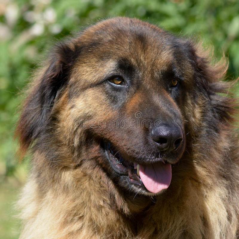 Chien de Leonberger photo stock