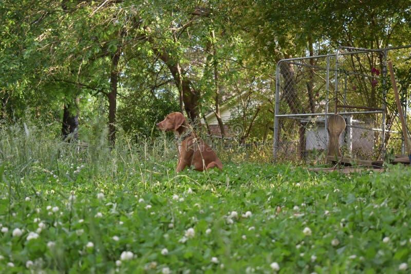 Chien de limier de coonhound de Redbone dans l'herbe image stock