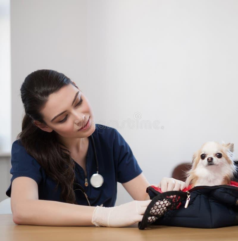 Chien de médecin vétérinaire et de chiwawa à la clinique de vétérinaire photographie stock libre de droits