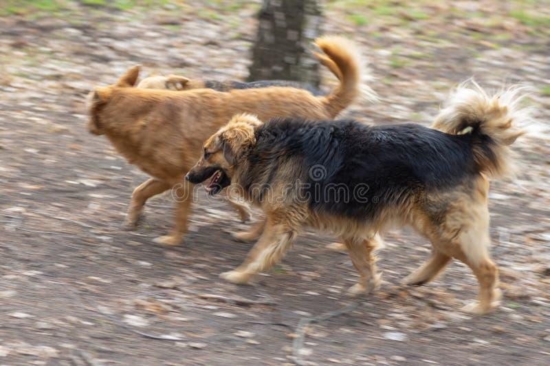 chien de Mélangé-race avec des cicatrices sur le museau fonctionnant avec deux autres chiens sur la route de terre photo libre de droits