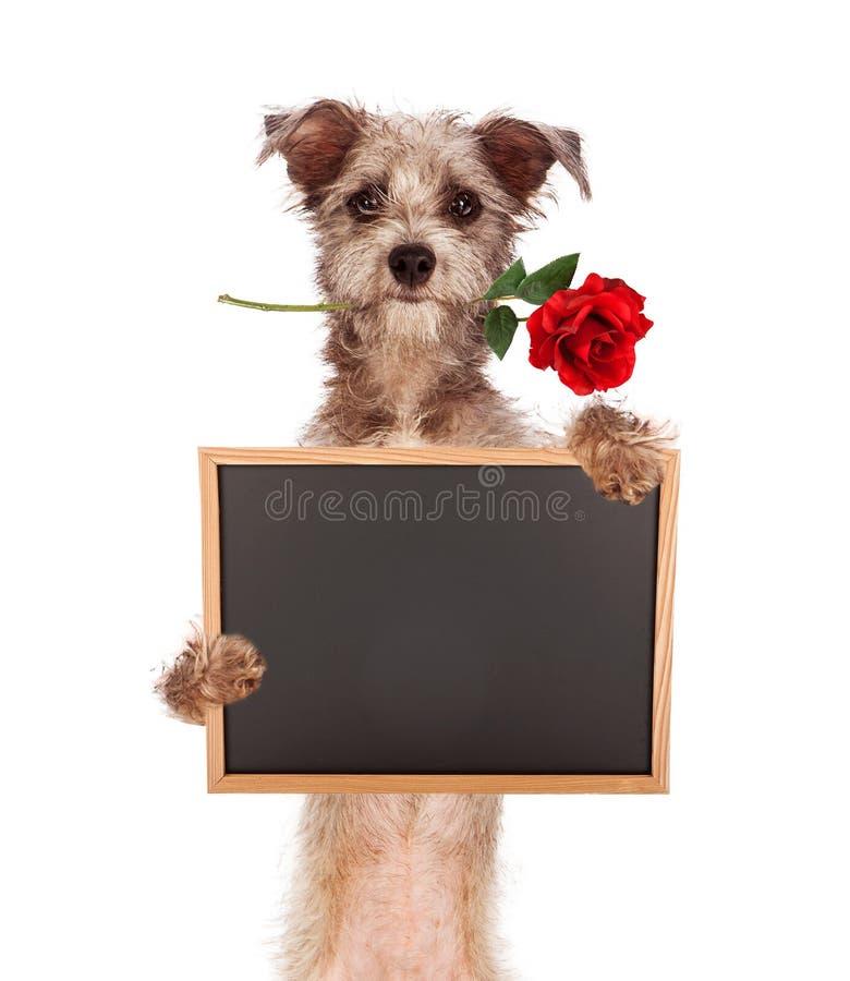 Chien de mélange de Terrier tenant le tableau vide avec Rose dans la bouche images stock