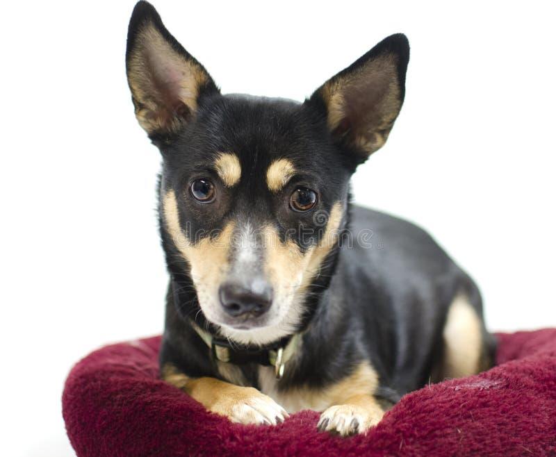 Chien de mélange de Rat terrier de chiwawa, photographie d'adoption de refuge pour animaux photos stock