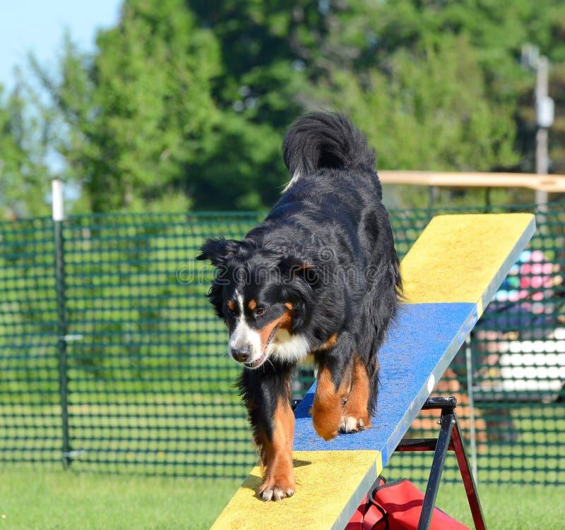Chien de montagne de Bernese au procès d'agilité de chien photo stock
