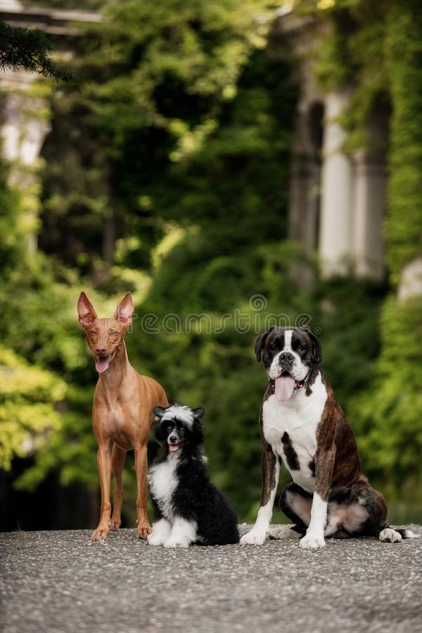 Chien de pharaon, crêté chinois, séjour de chien du boxeur trois sur des escaliers en nature sur le soleil photo stock