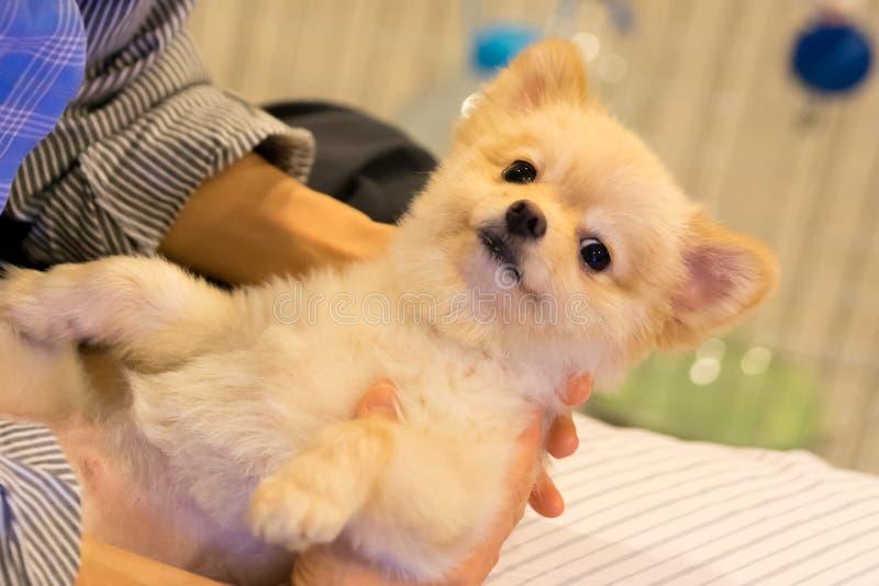 Chien de Pomeranian détendant chez l'étreinte chaude de la femme photographie stock libre de droits