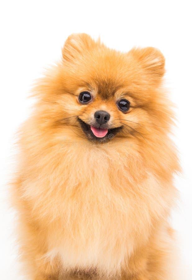 Chien de Pomeranian d'isolement sur le blanc photo libre de droits