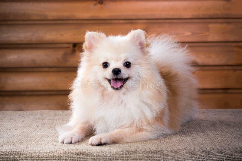 Chien de Pomeranian de portrait photos stock