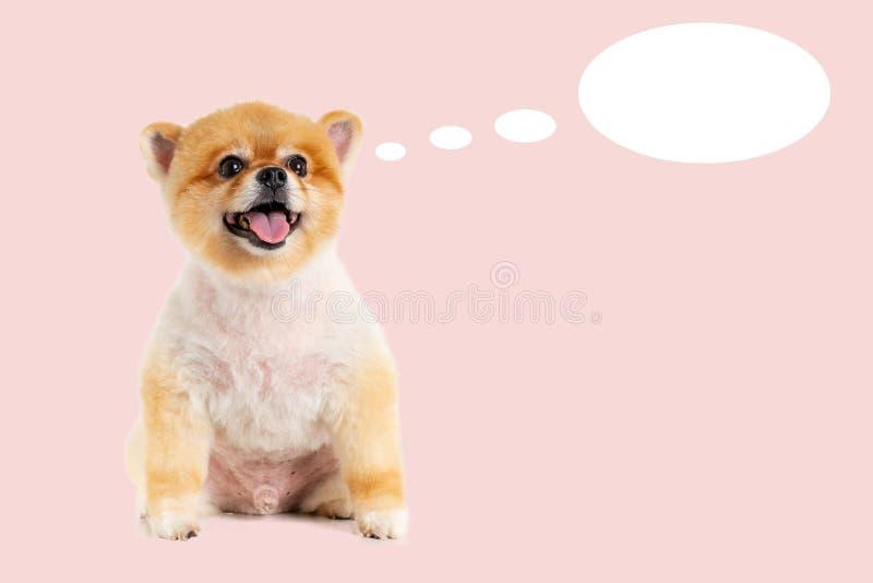 chien de Pomeranian de portrait de plan rapproché souriant avec le visage drôle sur le fond rose en pastel r photos stock