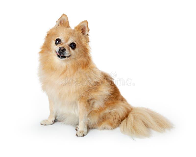 Chien de Pomeranian se reposant sur l'appareil-photo de regard blanc image stock