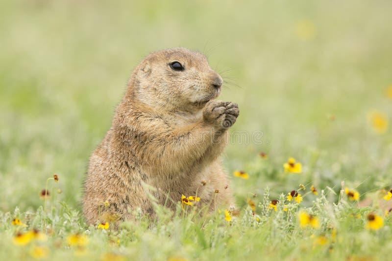 Chien de prairie à queue noire mangeant des fleurs de printemps photo libre de droits