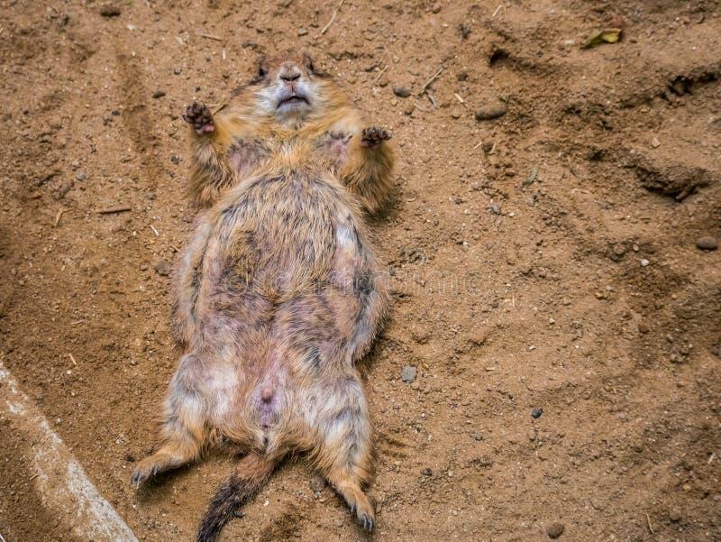 Chien de prairie dormant au sol dans la nature extérieure Faune images stock