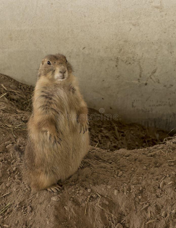 Chien de prairie femelle se tenant sur le sol d'arête photographie stock