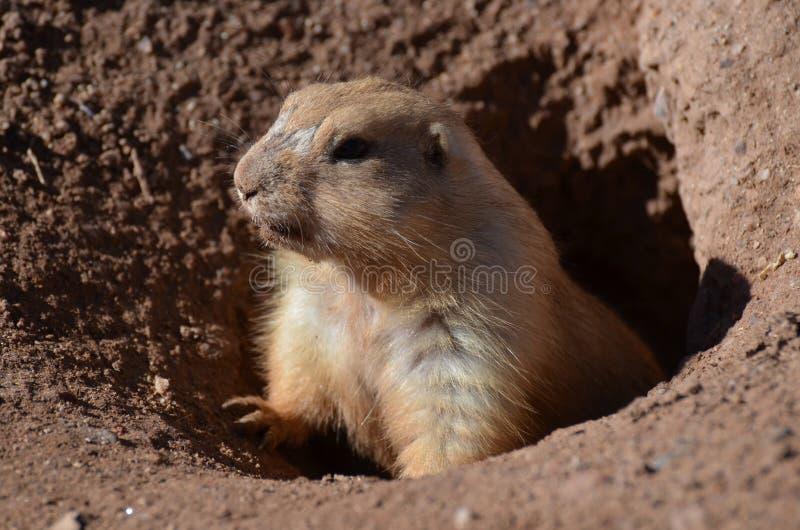 Chien de prairie mignon s'élevant hors d'un trou images stock