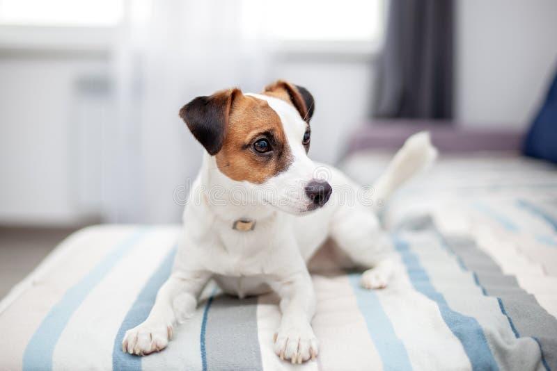 Chien de Purebred Jack Russell Terrier couché à la maison sur un canapé Un chien heureux ? ? se repose dans le salon Chien de Jac photo libre de droits