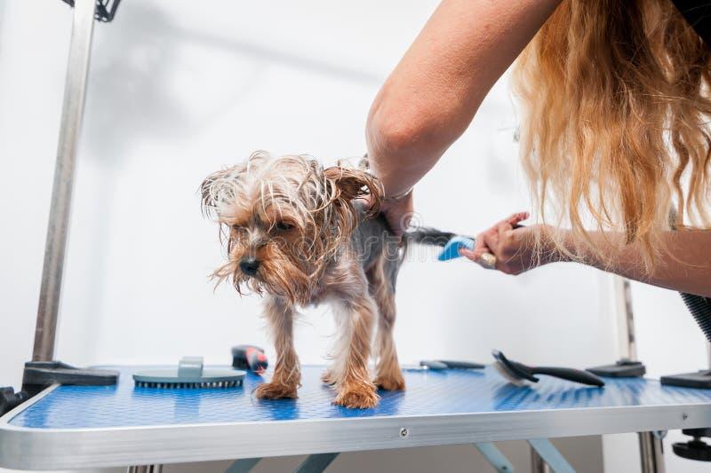 Chien de race mignon et beau peu humide de Yorkshire Terrier appréciant dans le toilettage et le nettoyage après s'être baigné da photographie stock