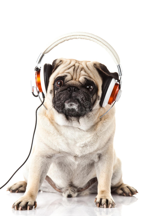 Chien De Roquet Avec L'écouteur D'isolement Sur La Musique
