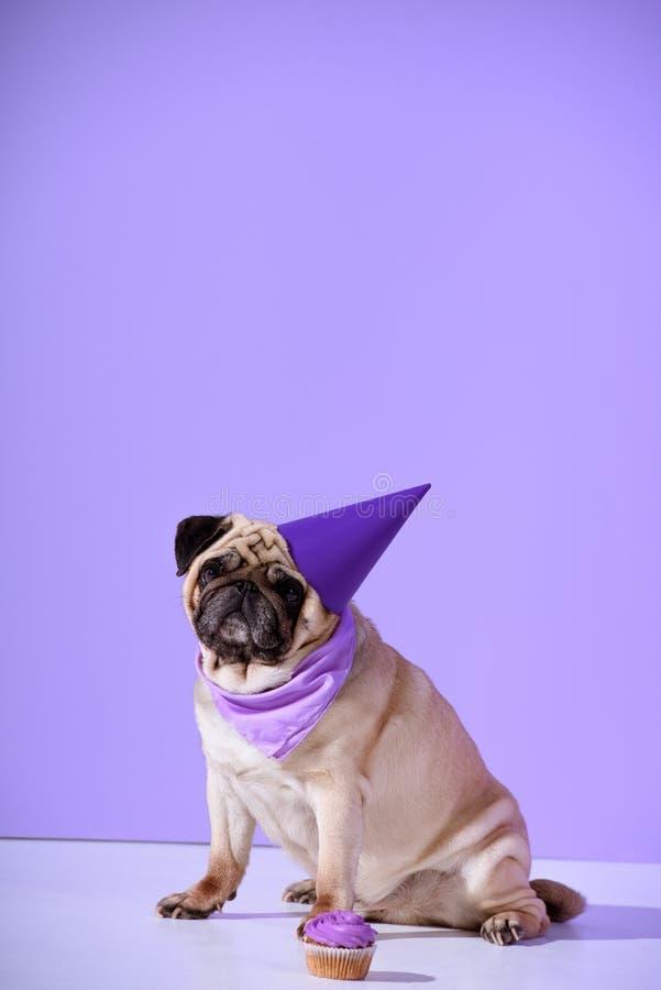 chien de roquet dans le chapeau pourpre d'anniversaire avec le petit gâteau, sur l'ultraviolet images stock