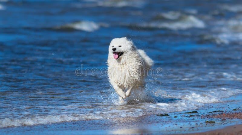 Chien de Samoyed fonctionnant sur la mer Concept au sujet des animaux et de la nature photo stock