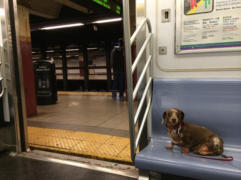 Chien de saucisse de teckel sur le souterrain de New York City photos libres de droits