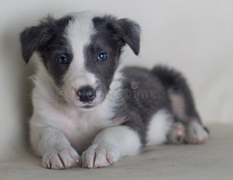 Chien de Serius regardant le beau chien de berger border collie de portrait de caméra photographie stock libre de droits