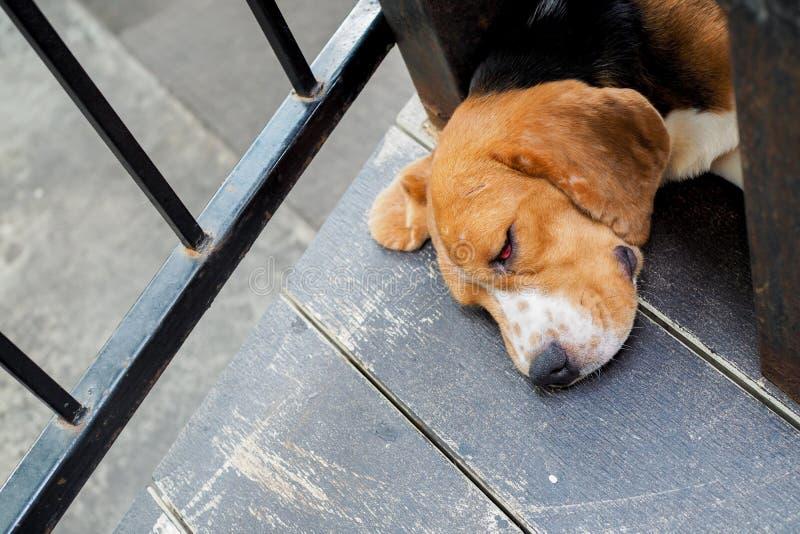 Chien de sommeil avec la doublure rouge de paupière de gonflement et yeux fermés photographie stock