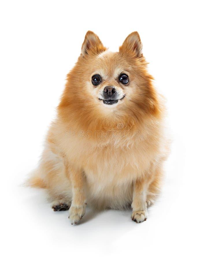 Chien de sourire mignon de Pomeranian faisant face en avant image stock