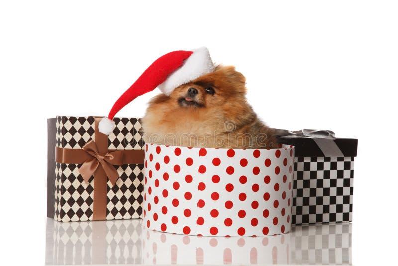 Chien de Spitz de Pomeranian dans le chapeau de Santa photo libre de droits
