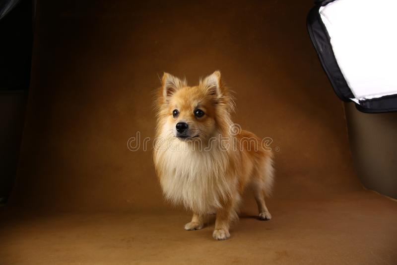 Chien de spitz de Pomeranian sur le fond brun dans le studio images stock