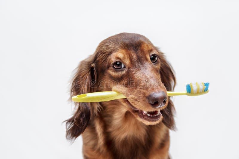 Chien de teckel avec une brosse à dents photo stock