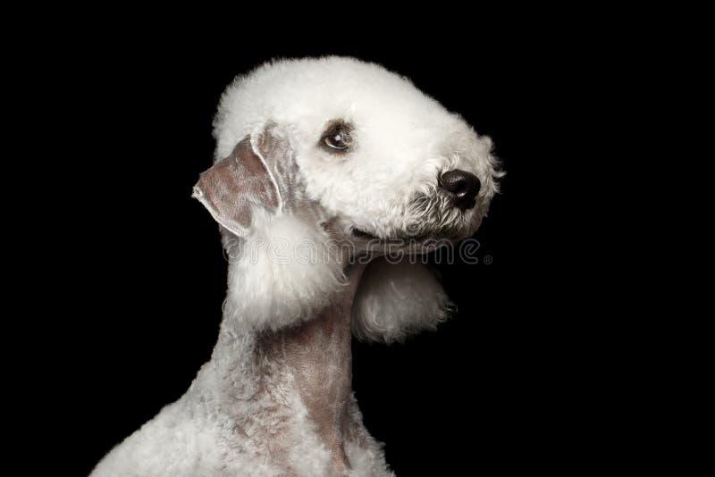 Chien de terrier de Bedlington d'isolement sur le noir image libre de droits