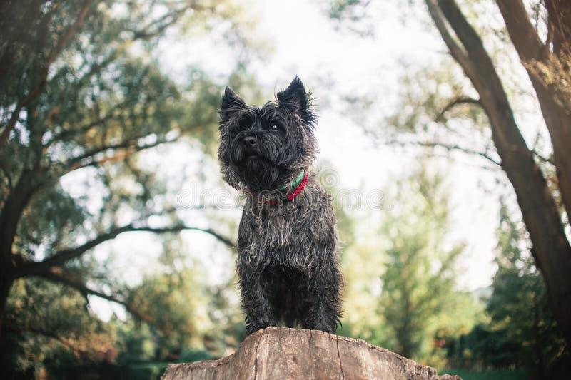 Chien de Terrier de cairn, portrait étroit image libre de droits