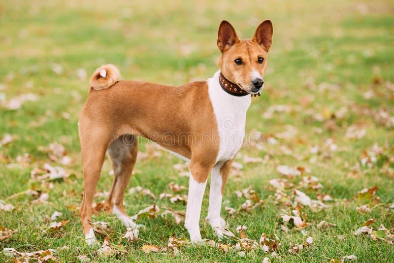 Chien de Terrier de Kongo de Basenji Le Basenji est une race de chien de chasse photos stock