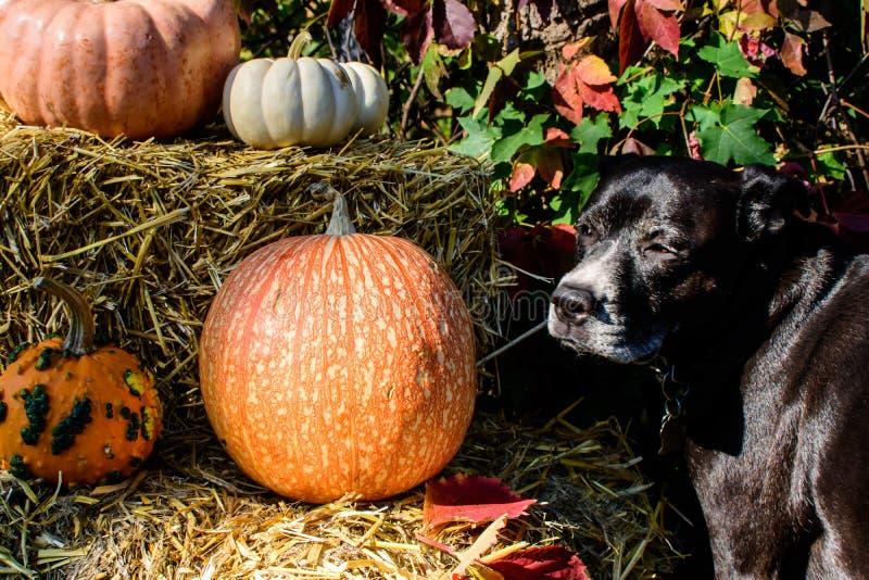 Chien de thanksgiving dehors avec la décoration de potiron de Halloween d'automne ou le fond colorée de célébration de chute images libres de droits